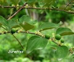 suretier arbre jardins Guadeloupe