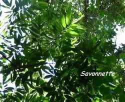 savonnette, Lonchocarpus heptaphyllus, rivière plessis, arbre, basse terre, guadeloupe, antilles