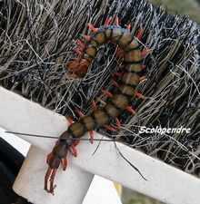 scolopendre, Scolopendra gigantea, faune foret seche, ecosysteme tropical, guadeloupe, antilles