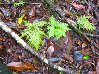 selaginelle, Selaginella flabellata, Frézias herbacée foret humide ecosystème tropical antilles