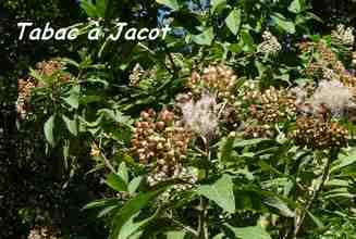 tabac jacot, arbuste, foret seche, TGT1, grande terre