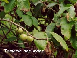 tamarin des indes jardins Guadeloupe