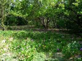 Végétation au sol, patate bord de mer, Port Louis , Grande terre, guadeloupe