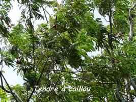 Tendre à caillou, Acacia muricata, Gros Morne