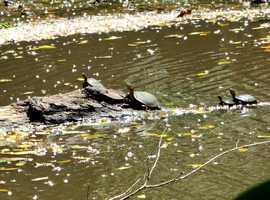tortues, étang, terre de bas, Guadeloupe