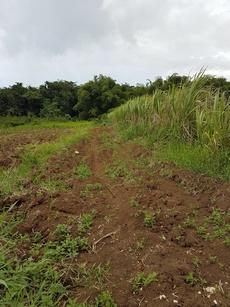 longer le champ pte bacchus pt bourg guadeloupe