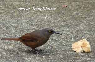 trembleur brun, Cinclocerthia ruficauda, oiseau, chutes carbet, basse terre sud, guadeloupe