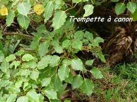 trompette à canon, arbuste, soufrière, guadeloupe