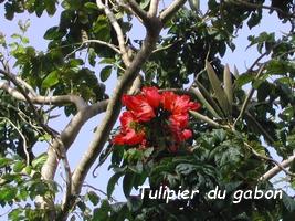 tulipier du gabon jardins Guadeloupe