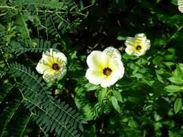 fleur de 11 heures, Turnera subulata, port Louis, Grande Terre, guadeloupe