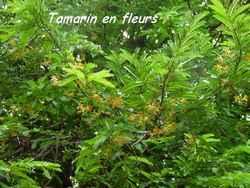 Tamarindus indica, st felix, arbre, grande terre, guadeloupe, antilles