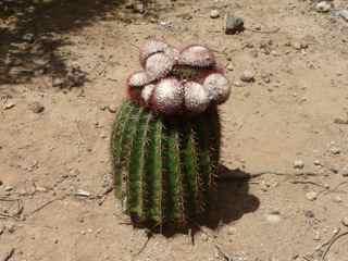 balade iilet cabrit, les saintes, cactus, foret seche, guadeloupe