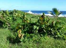 végétation rabougrie, moule bois baron, grande terre nord, guadeloupe