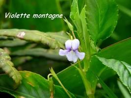 violette, flore soufrière, guadeloupe