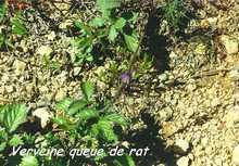 Stachytarpheta jamaicensis, rivière audoin, Moule, guadeloupe, antilles