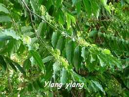 Cananga odorata, arbre, Grande Pointe