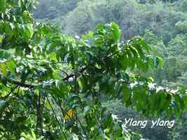 Ylang ylang, Grivelière