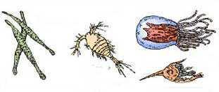 zooplancton pelagos